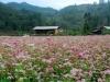 Hà Giang - mùa hoa tam giác mạch nhuộm thắm sườn đồi