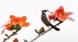 Ảnh: Xao xuyến mùa hoa gạo nở đỏ rực các miền quê