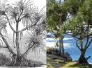 Loài cây sang chảnh chỉ mọc trên đất có kim cương