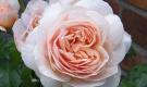 Ngắm bông hồng mang tên nàng Juliet, bán 1 căn biệt thự chưa chắc mua được 1 bông