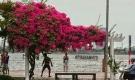 Xao xuyến mùa hoa giấy nở thắm ven sông Hàn Đà Nẵng