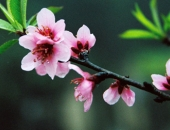 http://xahoi.com.vn/cong-dung-chua-benh-than-ky-cua-hoa-dao-hoa-mai-203437.html