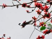 http://xahoi.com.vn/ngam-hoa-gao-do-ruc-trong-rung-cuc-phuong-261153.html