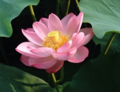 http://xahoi.com.vn/hoa-sen-dep-moc-mac-thanh-cao-hiem-co-loai-hoa-nao-sanh-bang-264282.html