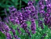 Cách trồng hoa oải hương cho nhà vừa đẹp vừa thơm ngát