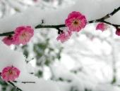 http://xahoi.com.vn/ngam-dao-rung-sa-pa-no-bung-trong-bang-tuyet-291843.html