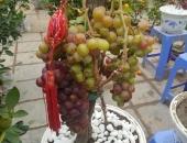 http://xahoi.com.vn/cay-tet-sieu-doc-chi-chu-vua-ban-vua-tiec-292368.html