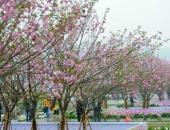 Hà Nội: Lễ hội hoa anh đào 2018 diễn ra 4 ngày tại khu vực Vườn hoa Tượng đài Lý Thái Tổ