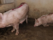 Vụ dân tố cơ sở giết mổ phát dịch: Lợn dương tính bệnh lở mồm long móng