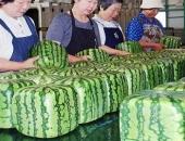 Dưa hấu vuông kỳ lạ xuất hiện ở Hà Nội: Giá chát 4,5 triệu/quả