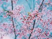 Đà Lạt mùa mai anh đào - Đưa em về với thanh xuân