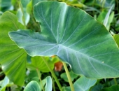 http://xahoi.com.vn/loai-rau-nguoi-viet-chi-de-cho-lon-an-lai-la-than-duoc-ngua-ung-thu-va-nhieu-benh-khac-323394.html