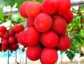 http://xahoi.com.vn/4-loai-qua-quy-hiem-tren-the-gioi-co-tien-chua-chac-da-duoc-an-327108.html