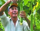 Lão nông bán 20 nghìn một quả 'dài thuột' này, một năm kiếm 300 triệu