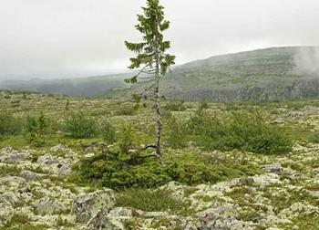 Có tin được không khi đây chính là cây già nhất thế giới có tuổi thọ 9.550 năm
