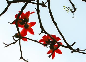 Chùm ảnh: Tháng 3 mùa hoa Gạo nao lòng người đi xa