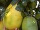 Video: Kỳ thú chanh khổng lồ nặng gần 7kg ở Đà Lạt