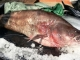 Bắt được cá leo dài 1,7 m, nặng 65 kg ở miền Tây