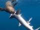 Khoảnh khắc hiếm gặp: Cá mập lớn bị hải cẩu 'nuốt chửng'