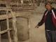 Nghệ An: Hoang mang trâu bò chỉ kêu rồi... chết