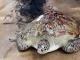 Ngư dân miền Tây bắt được rùa biển 62 kg