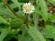 Bệnh thận - 'cỏ quê' cũng có thể chữa khỏi