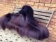 Chú chó nổi tiếng vì lông dài lượt thượt như suối tóc