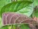 Lá mơ lông là vị thuốc quý vườn nhà: Trị đau dạ dày, nhức xương khớp và nhiều bệnh khác