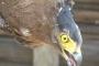 Phú Yên: Phóng thích chim lạ, nghi đại bàng