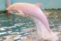 Chú cá heo màu hồng duy nhất trên thế giới gây sốt