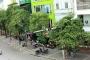 Người Hà Nội khổ sở vì hương hoa sữa nồng nặc trên nhiều tuyến phố