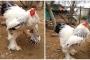 Phát hoảng trước chú gà khổng lồ nặng tới 8kg