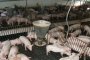 Lợn giống siêu đắt vì có bảo hành: Bóc mẽ sự thật
