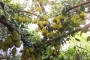Mãn nhãn những loại cây 'mắn' nhất thế giới, có cây cho hàng chục nghìn quả