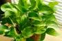 Loại cây giúp thanh lọc mọi khí độc trong nhà, giúp cả gia đình ít ai ốm đau bệnh tật