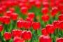 Không cần tới Hà Lan, ngay láng giềng Việt Nam cũng có 'thiên đường' hoa tulip đẹp chất ngất!