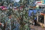 Hoa lê rừng Tây Bắc tiền triệu hút người chơi sau Tết