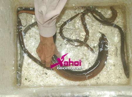 Hà Nội: Bắt được lươn giống rồng nặng hơn 1kg, dài gần 1m