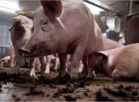Terry V.Garner đã bị chính đàn lợn của mình ăn thịt?