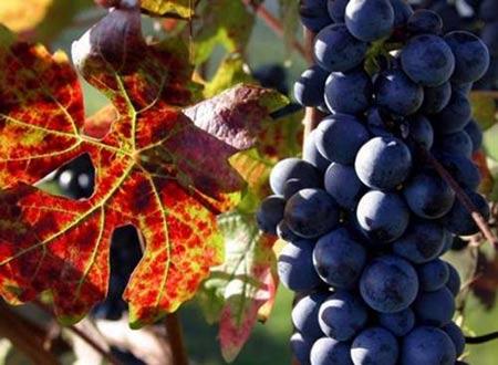 Một nhà sản xuất rượu nho lên kế hoạch không mặc gì đi hái nho vào đêm trăng tròn.