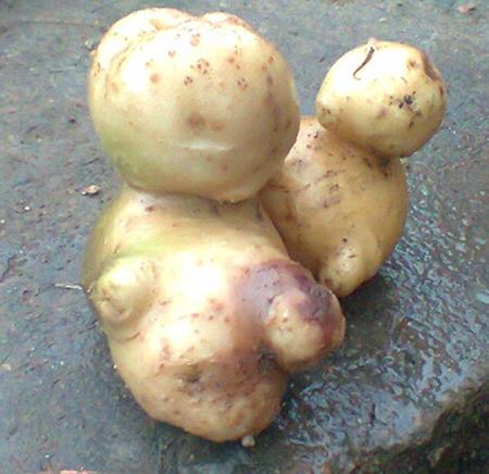 Củ khoai tây có hình dáng đặc biệt.