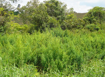 Gia Lai: Phát hiện và ngăn chặn trồng cây cần sa