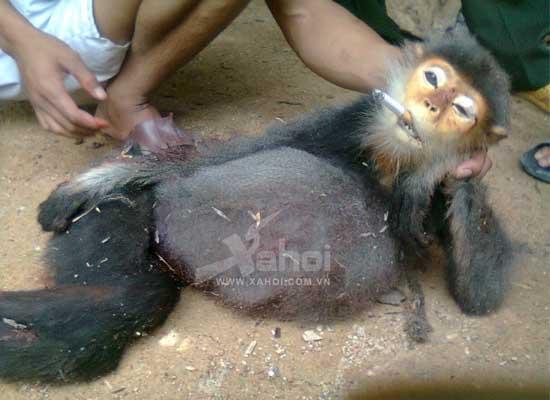 Giết khỉ khoe facebook: Có thể bị tù đến 3 năm