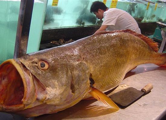 Bong bóng cá Bahaba được cho là có thể chữa các bệnh liên quan đến tim mạch và phổi.