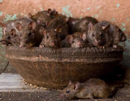 Những chú chuột được tôn làm thánh thần nơi đây.