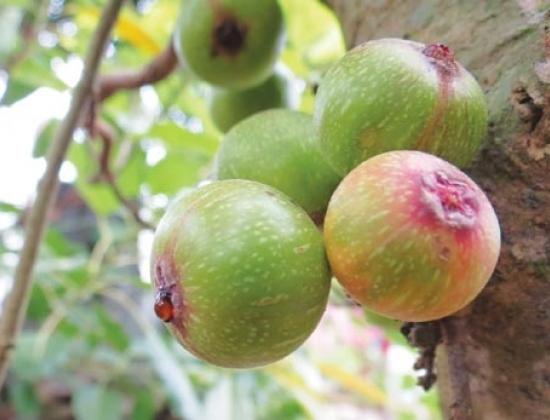 Sung có tên khoa học là Ficus glomerata