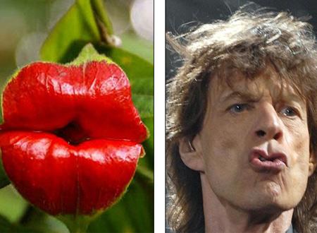 Bông hoa kỳ lạ có hình dáng giống hệt môi Mick Jagger.