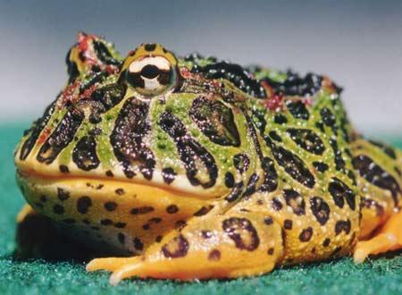 Ếch Pacman (Ceratophrys ornata), loài ếch nguồn gốc Nam Mỹ, đang trở thành vật nuôi được ưa chuộng của nhiều bạn trẻ Việt Nam.