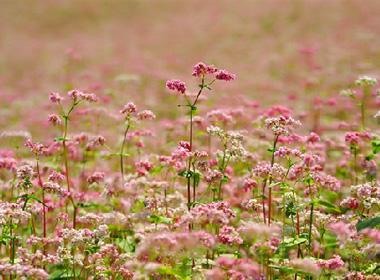 Cuối tháng 10, hoa tam giác mạch có màu phớt hồng. Ảnh: proguide
