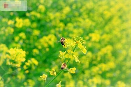 Rực rỡ mùa hoa cải vàng ngày đầu đông Hà Nội | Mùa hoa cải, Hoa cải vàng, Chụp ảnh, Vườn cải, Hà Nội